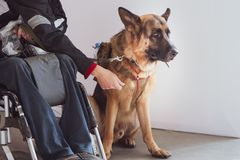 Shepherd, service dog with the owner the invalid. Wheelchair user royalty free stock image