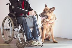 Shepherd, service dog with the owner. The invalid wheelchair user stock images