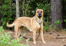 Shepherd Shar Pei mix dog portrait Royalty Free Stock Photos