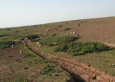 Shepherd and sheep royalty free stock image