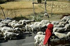Shepherd with sheep Stock Image