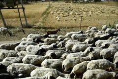 Shepherd with sheep Royalty Free Stock Photos