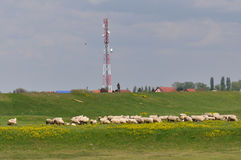 Shepherd with sheep on a meadow Royalty Free Stock Photography