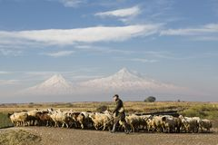 Herd of sheep and shepherd with the two peaks of the Mount Ararat on the background in Yerevan, Armenia. Shepherd and sheep with the Mountains of Ararat in the Stock Image