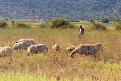 Shepherd and sheep out in the nature for a walk. Stock Image