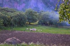 Shepherd and sheep Royalty Free Stock Photos