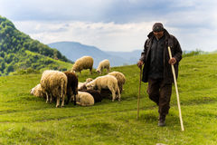 Shepherd and Sheep in Teteven Stock Photos