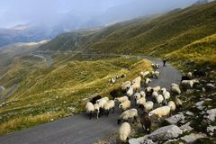 A shepherd shepherds sheep on a road in the mountains of Montenegro stock photo