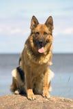 shepherd siedzi kamień Fotografia Stock