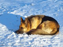 Shepherd on snow Royalty Free Stock Photography