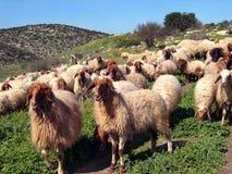 shepherd stada Obraz Royalty Free