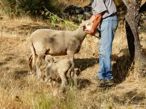 Shepherd stroking mother sheep while lamb drinks breast milk Stock Images