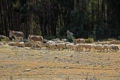 Shepherd sur l'île du soleil, lac Titicaca, Bolivie Images libres de droits