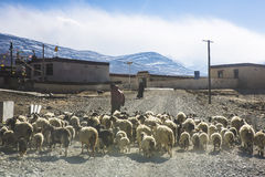 The shepherd in Tibet Stock Image