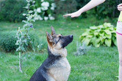 Shepherd training. Girl is engaged in training German Shepherd Stock Photo