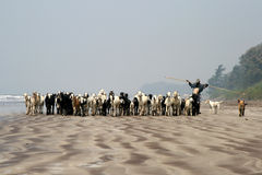 Shepherd walking with his goats on the beach Royalty Free Stock Photography
