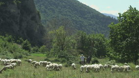 Shepherd who keeps sheep that graze. In the mountains stock video