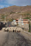 Shepherd at Work. A shepherd leads a flock of sheep along a street in the small town of Putre in northern Chile Stock Images