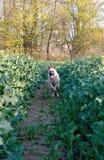Shepherdess dog Royalty Free Stock Photos