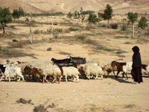 Shepherdess herding a flock of goats in the desert Royalty Free Stock Photography
