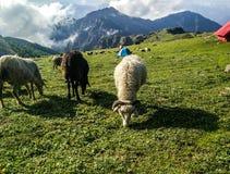 Shepherding stock image