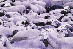 Shepherding sheep Stock Image