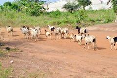 shepherds Immagini Stock