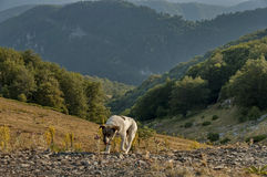Shepherds dog by road at Beklemeto pass Royalty Free Stock Photo