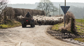 Shepherds herding sheep along public highway. Stock Photo