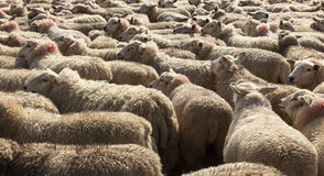 Shepherds herding sheep along public highway. Royalty Free Stock Image