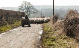 Shepherds herding sheep along public highway. Royalty Free Stock Photo