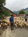 Shepherds herding Sheep in the Himalayas Stock Photo