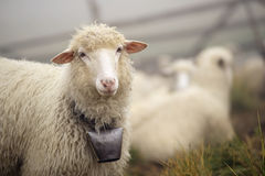 Shepherds and sheep Carpathians Stock Photography