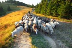 Shepherds and sheep Carpathians stock photos