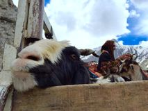 Shepherds transporting goats across Zojila pass Royalty Free Stock Photos