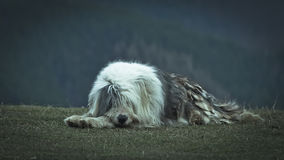 Sheppardhond Stock Foto's