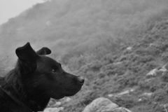 Black shepherd dog. Black and white potrait of shepperd dog with an intense gaze. Blurred mountains in the background stock photos