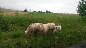 Shepperd-Hunde Lizenzfreies Stockfoto