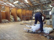 Shering time. Sheep shearing for wool in Australia Stock Photography