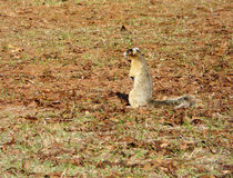 Sherman's Fox Squirrel Royalty Free Stock Image