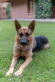 Sherman Shepherd Dog. A beautiful Sherman Shepherd Dog lays on the green grass stock photos