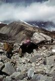Sherpa porter and yak. Carrying loads,Chyungma Pass, inKhumbu Himalaya,Nepal Stock Images