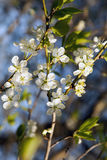 Sherry blossoms. Beautiful cherry blossoms on a blue sky Stock Image