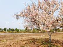 Sherry bossom tree from thailand stock photography