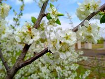 Sherry tree blossoms spring stock images