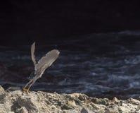 Shete Boka Heron Royalty Free Stock Image