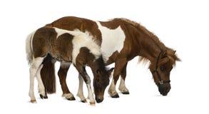 Shetland και foal - 9 έτη παλαιός-1 μήνα Στοκ φωτογραφία με δικαίωμα ελεύθερης χρήσης