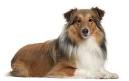 Shetland 5 psich łgarskich starych pasterskich rok obraz royalty free