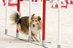 Shetland in agility. Beautiful purebred shetland sheepdog jumping in a training of agility stock image