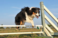 Shetland in agility Stock Images